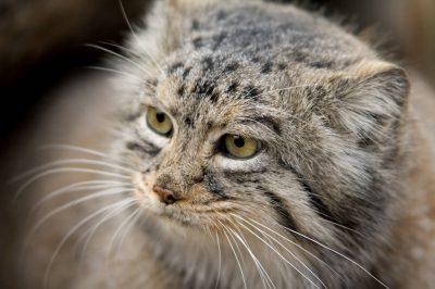 Pallas' cat (Otocolobus manul) at the Bramble Park Zoo.