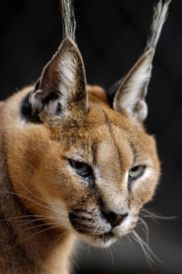 Picture of a caracal lynx (Caracal caracal) (at the Great plains Zoo.