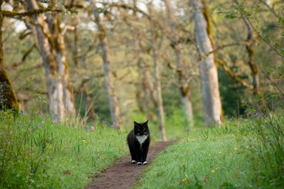 Photo: A black and white cat roams the Cowichan Garry Oak Preserve, an extremely rare type of forest in Canada.