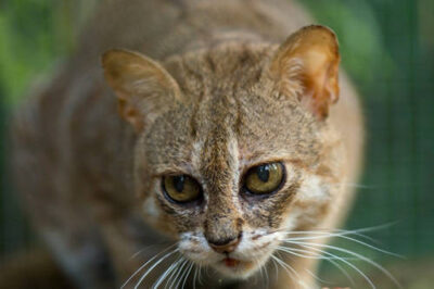 Photo: A rusty spotted cat (Felis rubiginosa phillipsi) at the Audubon Center for Research of Endangered Species.