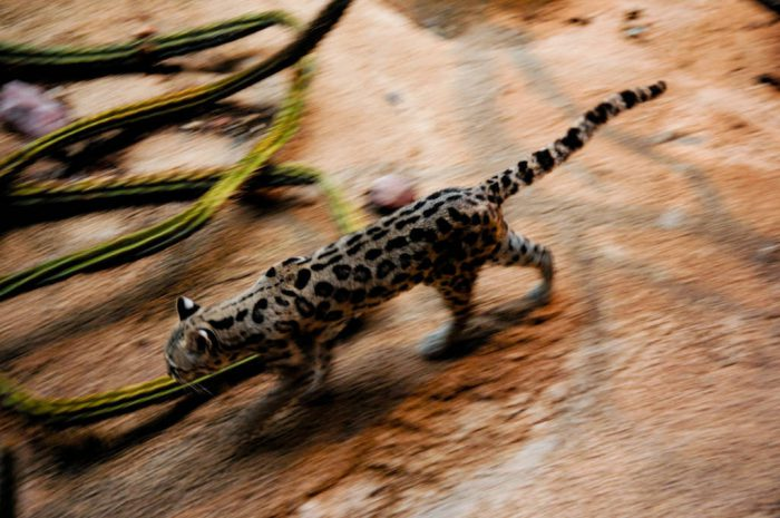 A captive, federally endangered margay (Leopardus wiedii) at the Arizona-Sonora Desert Museum.