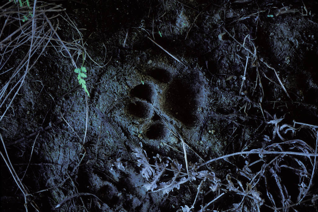 Photo: A footprint of a Florida panther under a wildlife crossing underpass on Alligator Alley (I-75) near Naples, Florida.