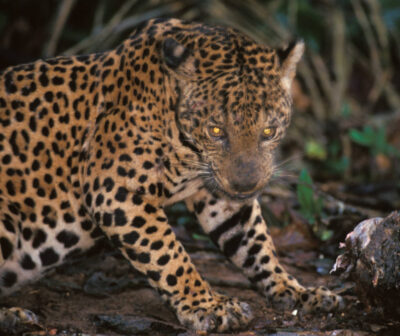 Photo: A wild jaguar snarls over her meal in Bolivia's Madidi National Park.