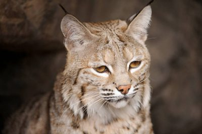 Picture of a Bobcat (Felix rufus or Lynx rufus) at the Omaha Zoo.