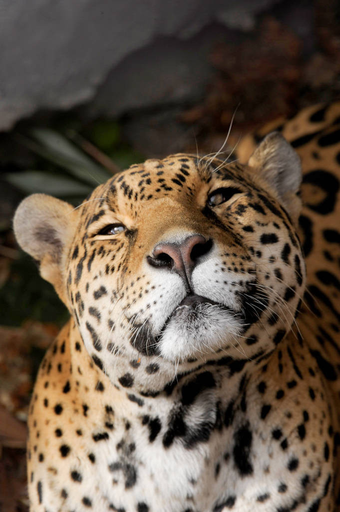 Picture of a federally endangered jaguar (Panthera onca) at the Chapultepec Zoo in Mexico City.