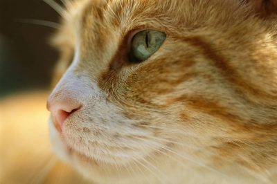 Photo: A close view of the profile of a domestic cat.
