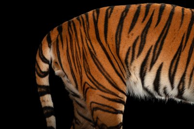 An endangered Malayan tiger, Panthera tigris jacksoni, at the Omaha Zoo.