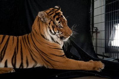 An endangered Malayan tiger, Panthera tigris jacksoni.