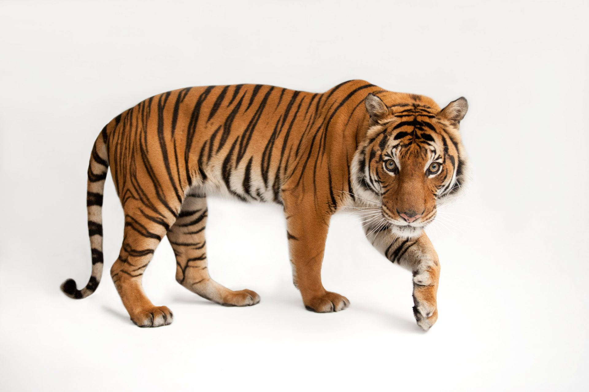 Photo: An endangered Malayan tiger, Panthera tigris jacksoni, at the Omaha Zoo. (Not available for licensing.)
