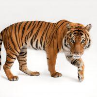 An endangered Malayan tiger, Panthera tigris jacksoni, at the Omaha Zoo.