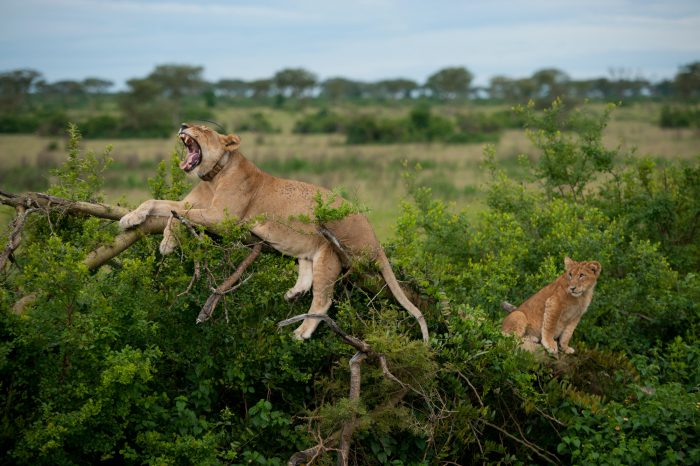 Photo: A radio-collared lioness and her cub wake up at dusk on their treetop perch in the Ishasha section of Queen Elizabeth National Park.