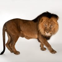 A vulnerable male African lion (Panthera leo krugeri) named Mr. Big at the Omaha Zoo.