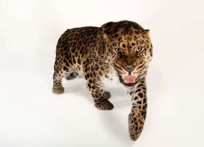 Vulnerable (IUCN) and federally endangered Amur leopard (Panthera pardus orientalis) named 'Usi' from the Omaha Zoo.