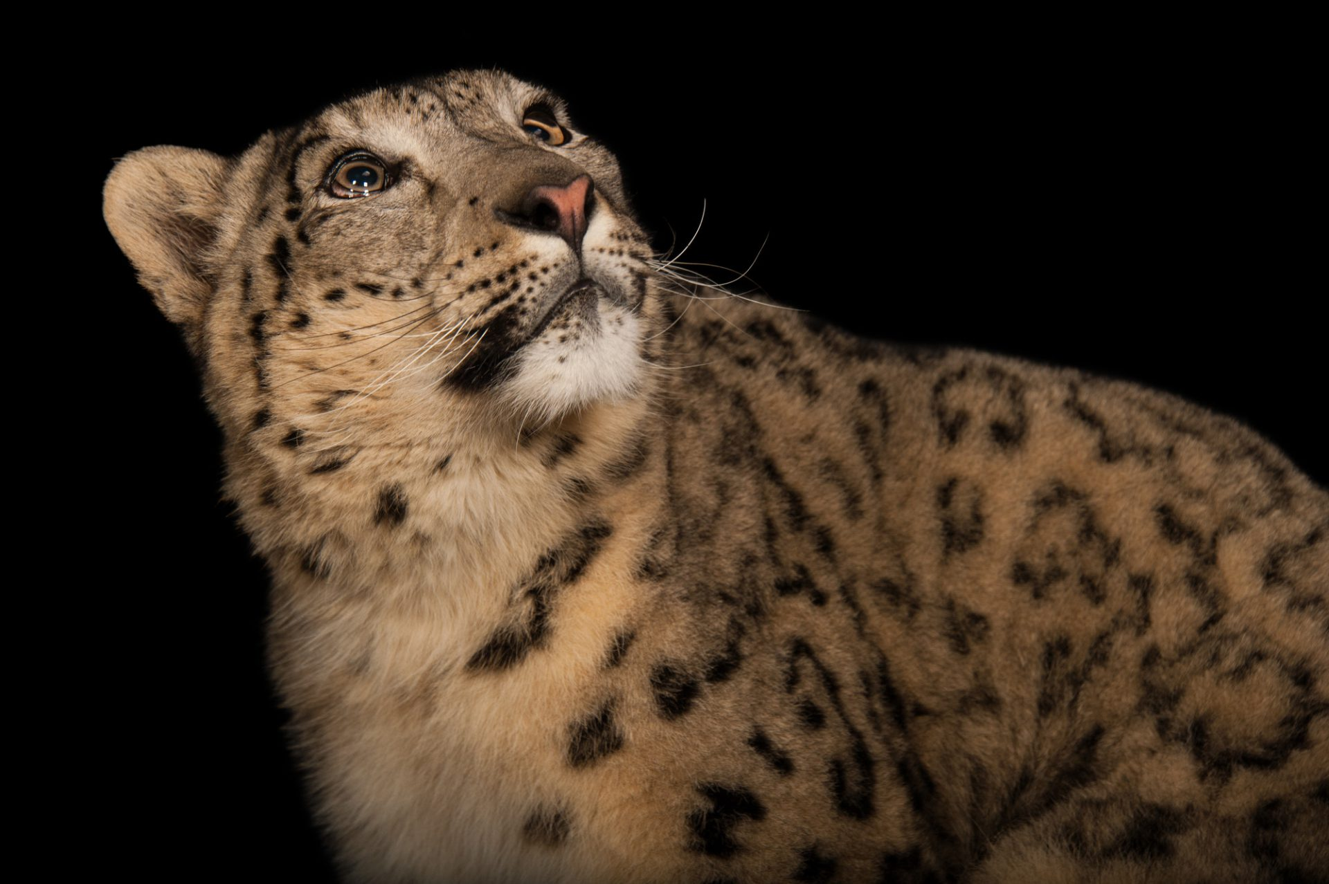 Photo: Snow leopard (Uncia uncia) at the Miller Park Zoo.