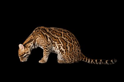 An ocelot (Leopardus pardalis) at the Omaha Zoo.
