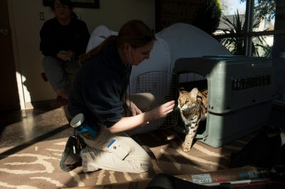 Picture of a keeper coaxing a serval (Leptailurus serval) out of her crate at the Fort Worth Zoo.