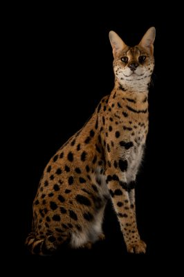 Picture of a serval named 'Kenya' at the Fort Worth Zoo.