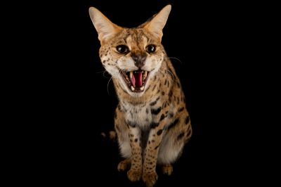 Picture of a serval (Leptailurus serval) named 'Kenya' at the Fort Worth Zoo.