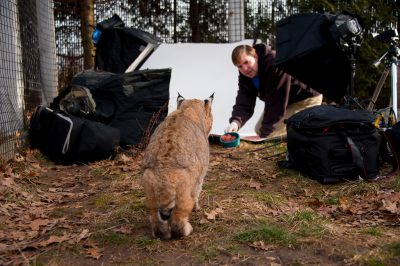 A zoo keeper tries to lure a bobcat (Lynx rufus) to Sartore's photo studio at the Miller Park Zoo.
