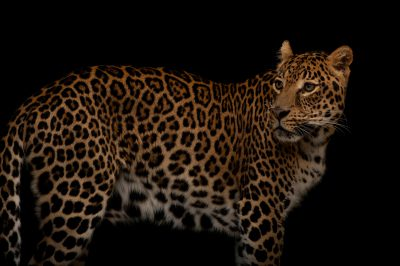 Picture of a federally endangered, African leopard (Panthera pardus pardus) at the Houston Zoo.