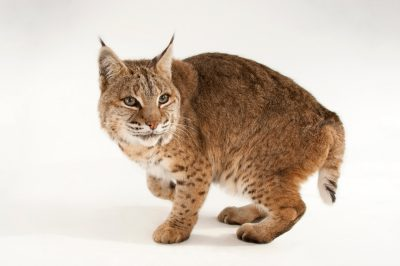 Picture of a Bobcat (Lynx rufus) at the Miller Park Zoo.