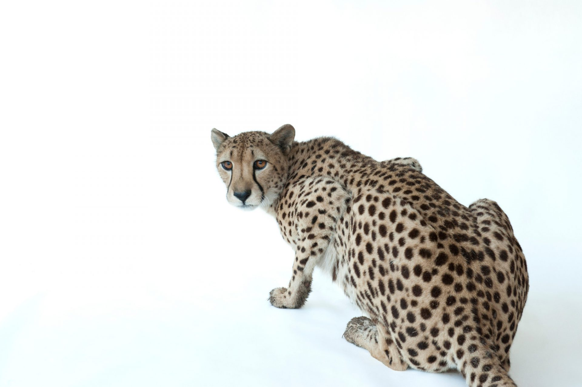 Photo: Hasari, a federally endangered three-year-old cheetah (Acinonyx jubatus) at White Oak Conservation Center.