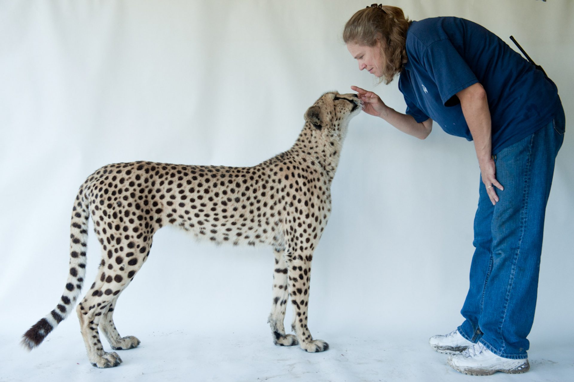 Photo: Hasari, a federally endangered three-year-old cheetah, with a trainer at White Oak Conservation Center.