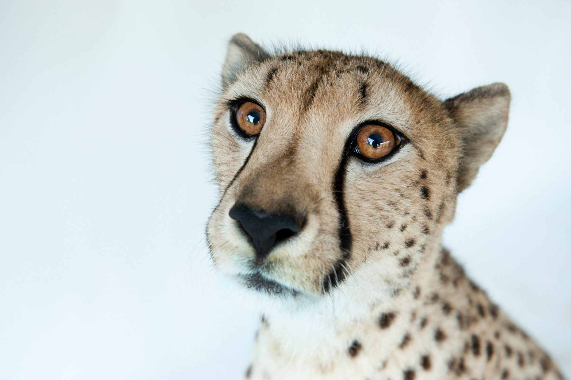 Photo: Hasari, a federally endangered three-year-old cheetah, at White Oak Conservation Center.