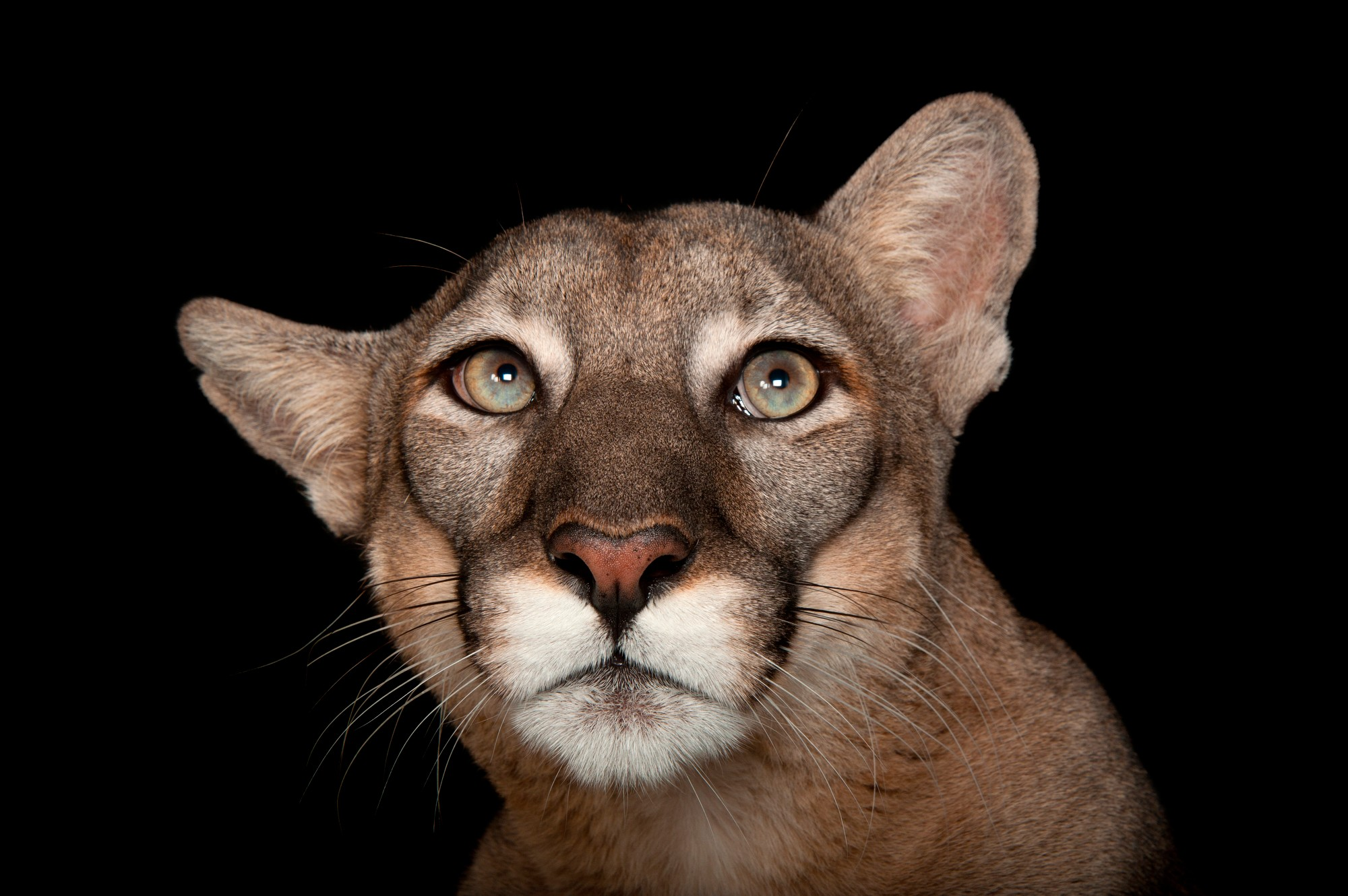 Photo: A Florida panther (Puma concolor coryi) named Lucy at Tampa's Lowry Park Zoo.