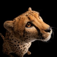 Picture of a vulnerable (IUCN) and federally endangered cheetah (Acinonyx jubatus) at the Columbus Zoo.