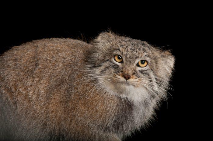 Pallas's cat (Otocolobus manul) at the Columbus Zoo.
