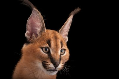 A three-month-old caracal (Caracal caracal) at the Columbus Zoo.