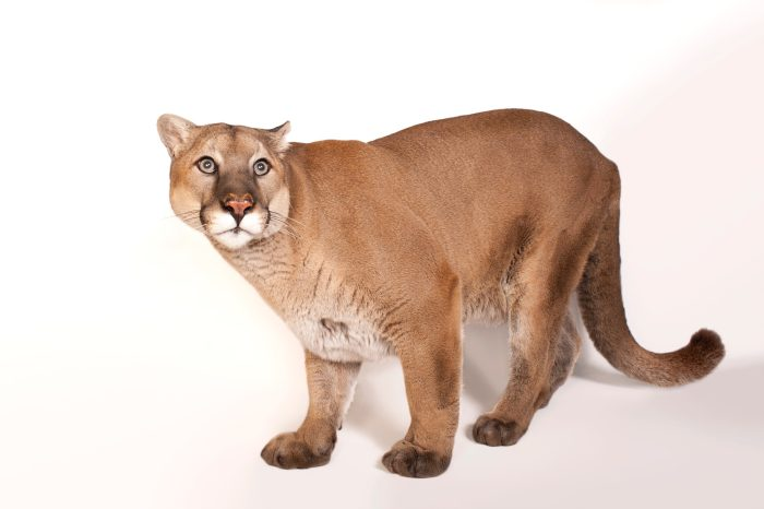 A picture of an North American mountain lion (Puma concolor couguar), at the Rolling Hills Wildlife Adventure near Salina, KS