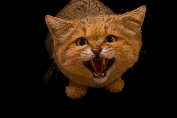 Picture of Sven, a sand cat (Felis margarita) at the Chattanooga Zoo.