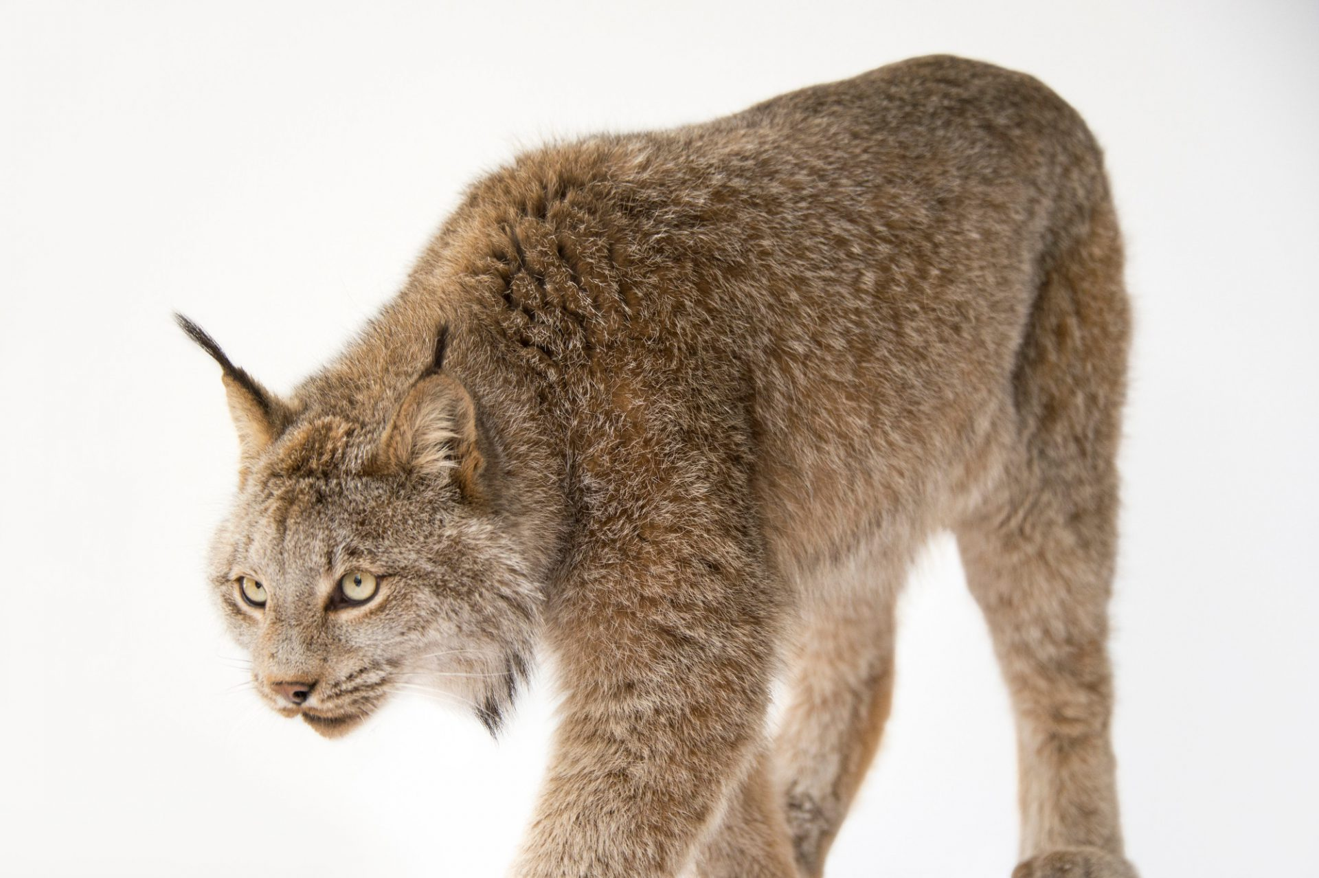 Picture of a federally threatened, Canada lynx (Lynx canadensis) named Yukon at Point Defiance Zoo.