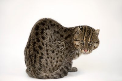 Picture of an endangered fishing cat (Prionailurus viverrinus) at the Point Defiance Zoo.
