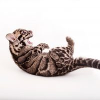 Photo: A nine-week-old clouded leopard (Neofelis nebulosa) at the Columbus Zoo.