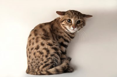 A vulnerable (IUCN) and federally endangered Black-footed cat (Felis nigripes) at the Omaha Zoo.