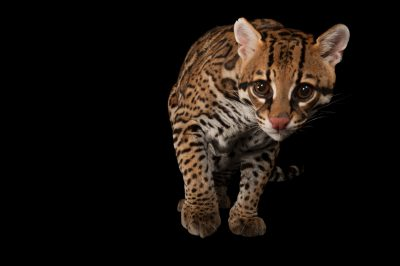 Photo: An ocelot (Leopardus pardalis) at the Omaha Zoo.