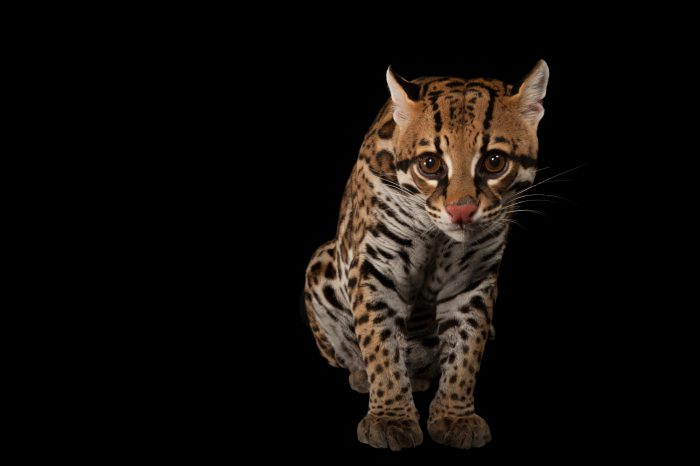 An ocelot (Leopardus pardalis) at Omaha's Henry Doorly Zoo and Aquarium.