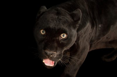 Picture of a federally endangered black phased jaguar (Panthera onca) at the Omaha Zoo.