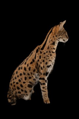 Picture of a serval named Kenya (Leptailurus serval) at the Fort Worth Zoo.
