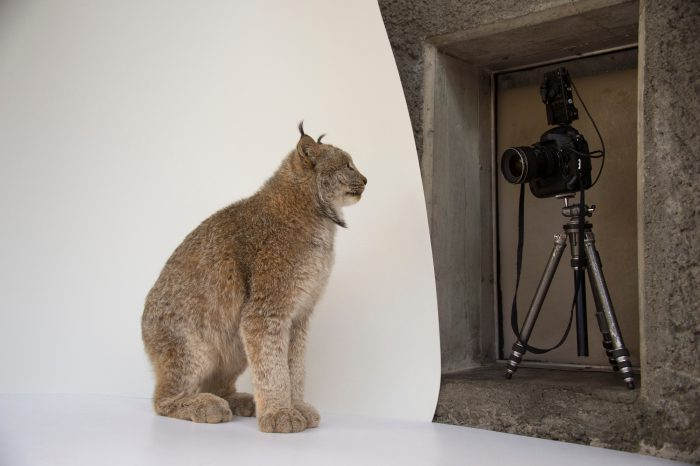 A federally threatened, Canada lynx (Lynx canadensis) named Yukon has his picture taken at the Point Defiance Zoo.