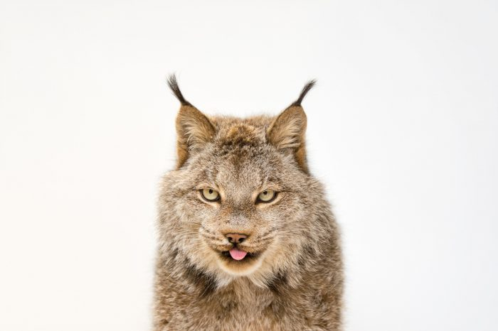 Picture of a federally threatened, Canada lynx (Lynx canadensis) named Yukon at the Point Defiance Zoo.