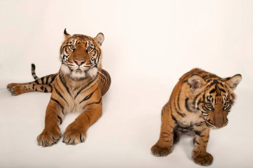 A critically-endangered (IUCN) and federally endangered female Sumatran tiger (Panthera tigris sumatrae) and her five-month-old cub at the Atlanta Zoo.