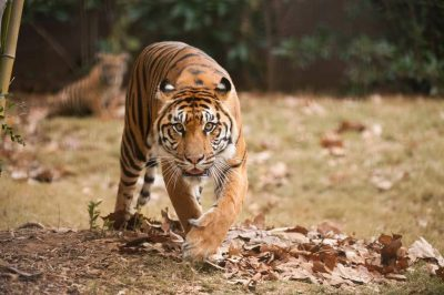 A critically-endangered (IUCN) and federally endangered female Sumatran tiger (Panthera tigris sumatrae) at Zoo Atlanta.