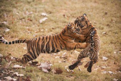Critically-endangered (IUCN) and federally endangered Sumatran tiger cubs (Panthera tigris sumatrae) at Zoo Atlanta.