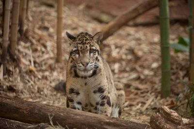 A vulnerable (IUCN) and federally endangered Clouded leopard (Neofelis nebulosa).