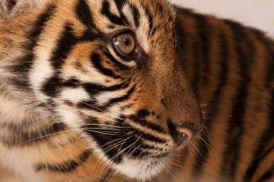 A critically endangered (IUCN) and federally endangered Sumatran tiger (Panthera tigris sumatrae).