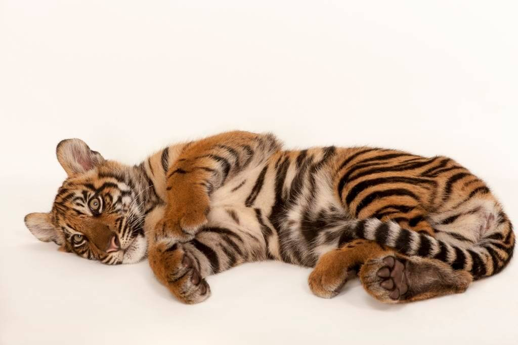 A critically endangered (IUCN) and federally endangered Sumatran tiger (Panthera tigris sumatrae).